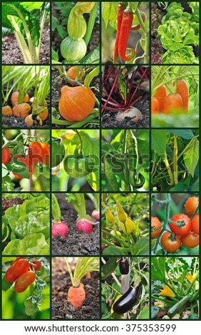 collage of different vegetables in garden - stock photo