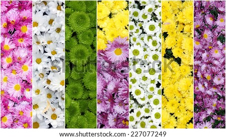 collage of flowers of chrysanthemums - stock photo