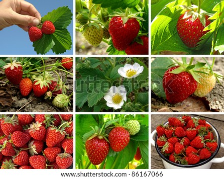 collage of fresh organic strawberries in the garden - stock photo