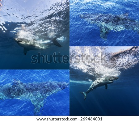 Collage of Great White Shark Underwater And View From Air. Sharks Close To Ocean Surface. - stock photo