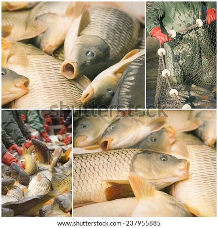 Collage of harvesting carp fish from a fish farm - stock photo