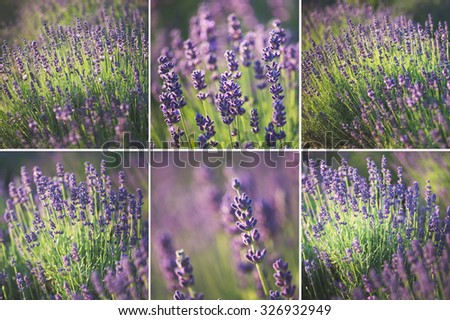Collage of lavender images - stock photo