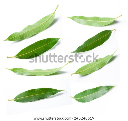 Collage of mango leaves - stock photo