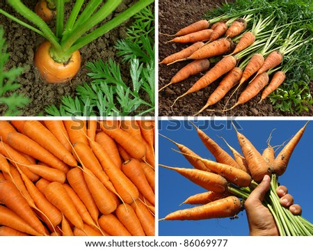 collage of organic carrots in the garden - stock photo