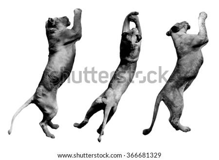 collage of Photos many lion jumping on white background - stock photo