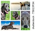 Collage of photos of a great dane dog - stock photo