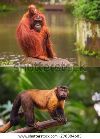 Collage of small monkeys sitting on a tree. Brown capuchin monkey. Orangutan.