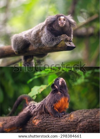 Collage of small monkeys sitting on a tree. White-lipped tamarin. Common Marmoset.