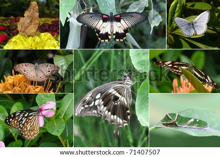 Collage of South Asia butterfly species, Series I - Comma, Great Mormon, common blue, gray pansy, Swallowtail, common sailor, Blue Glass Tiger, swallowtail caterpillar - stock photo