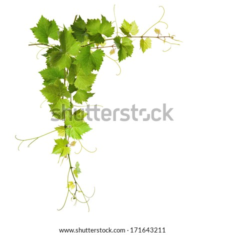 Collage of vine leaves on white background - stock photo