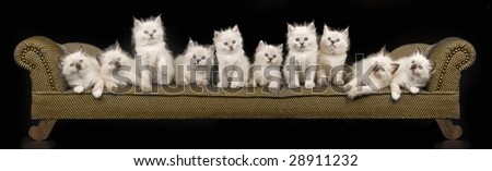 Collage pano panorama of 10 Ragdoll kittens on miniature brown chaise couch sofa on black background - stock photo