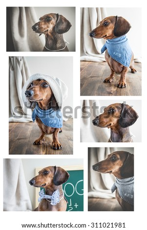 Collage Red dachshund dog on old wooden table - stock photo