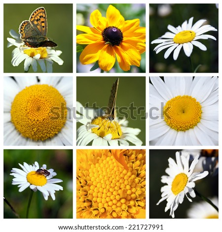 Collage with beautiful white flowers - coneflower,  Leucanthemum, chamomile - stock photo