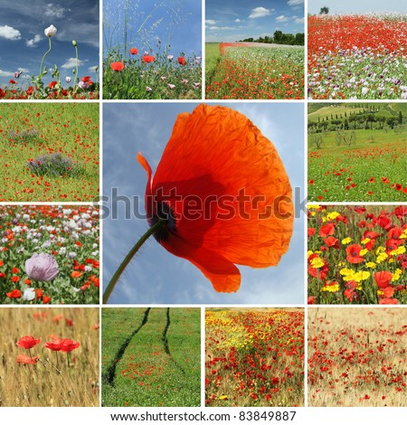 collage with flowering   poppies - stock photo