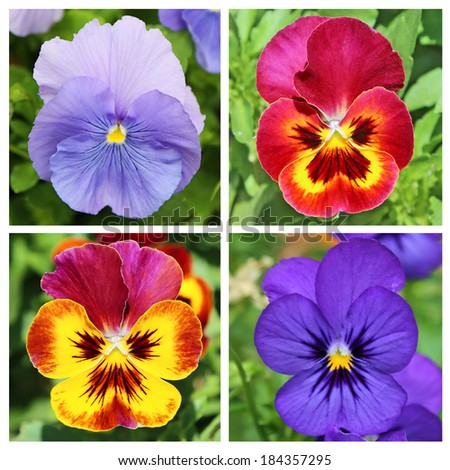 Collage with four pansy flowers in blue and red
