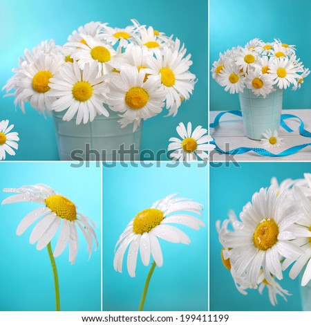 collage with fresh camomile flowers on blue background  - stock photo