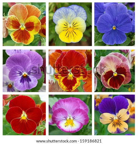 Collage with 9 pansy flowers