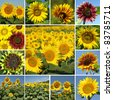 collage with variety of sunflowers - stock photo