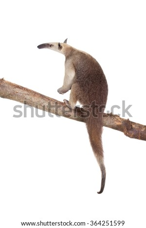 Collared Anteater, Tamandua tetradactyla isolated on white background - stock photo