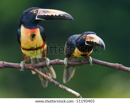 Collared Aracari, a Toucan from Central America. - stock photo