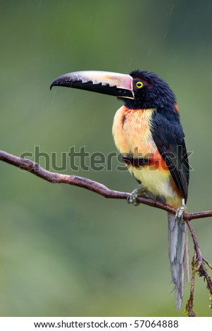 Collared Aracari, a Toucan from Central America.