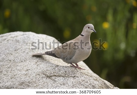 Collared Dove, Streptopelia decaocto, perched on a rock