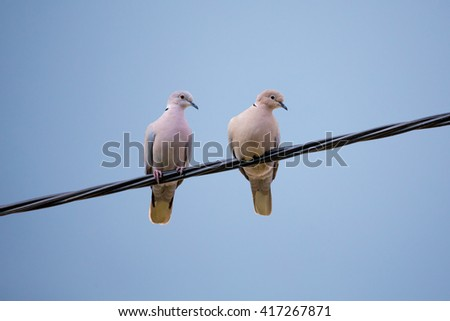 Collared Doves, Streptopelia decaocto, together perched on an electricity wire. Collared Doves birds in love as valentine love symbol. - stock photo