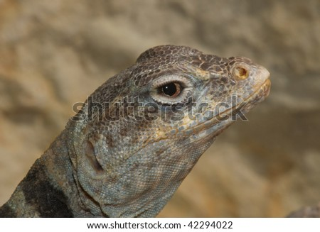 Collared Lizard - stock photo