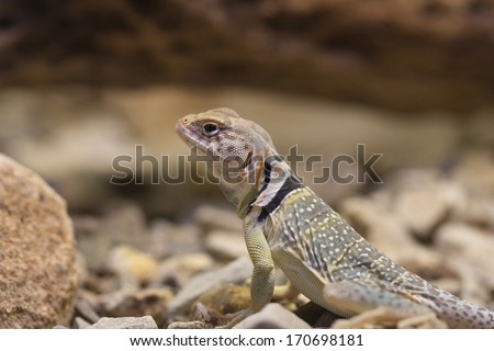 Collared Lizard, Arizona - stock photo
