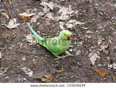 collared parakeet put on the ground, forest of France - stock photo