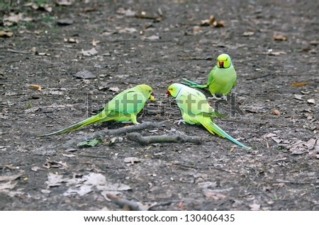 Collared parakeets quarrellng for an end of apple, forest of France - stock photo