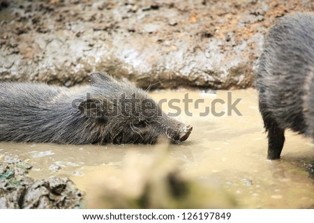 Collared peccaries known as wild pigs swimming in muddy splash - stock photo