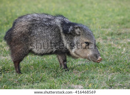 Collared Peccary Grazing on Grass - stock photo