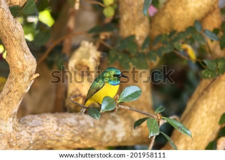 Collared Sunbird sitting on tree branch - stock photo