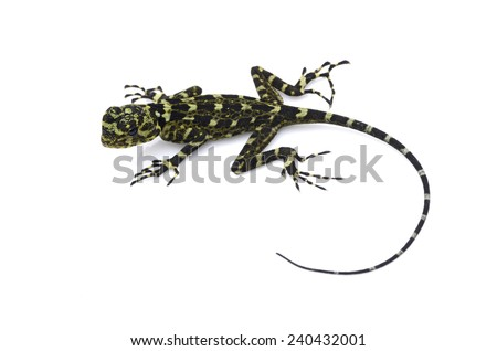 Collared tree lizard (Plica plica) - stock photo