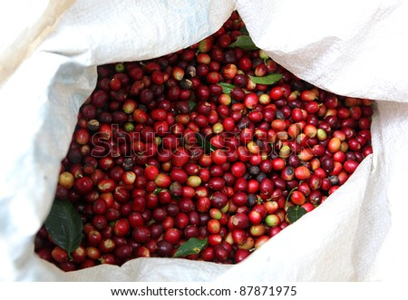 Collected coffee beans in the bag. - stock photo
