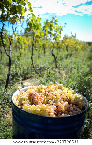 Collected grapes in a bucket , plastic or metal and rusty ones with view of vineyard