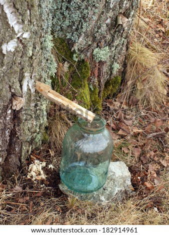 Collecting birch sap from tree on spring      - stock photo