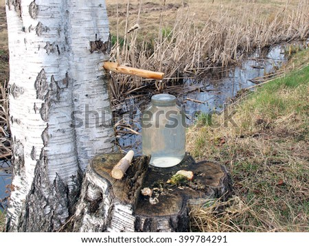 Collecting birch sap with wooden pipe from tree in glass jar.