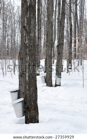 Collecting sap for maple syrup production. Quebec, Canada. - stock photo