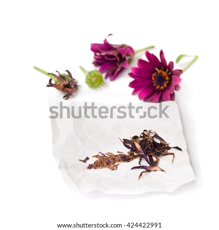Collecting  seeds of purple cape daisy flowers  - stock photo