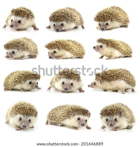 collection animal  Hedgehog isolate on white background - stock photo