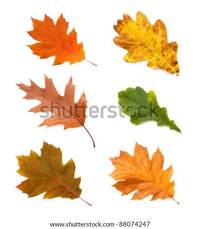 collection autumn leaves of oak isolated on white background - stock photo