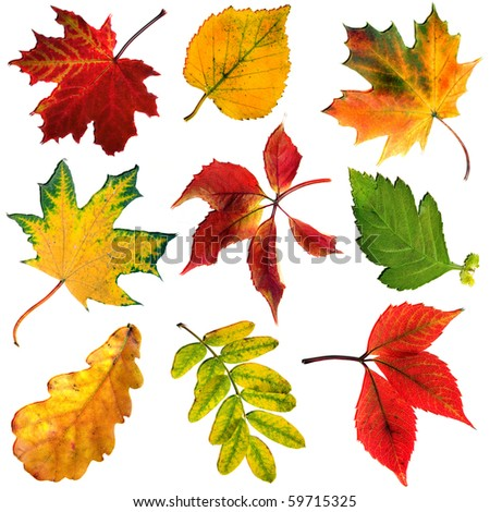 collection beautiful colored autumn leaves isolated on white background - stock photo