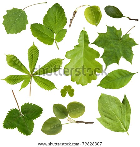 Collection green tree leaves. Isolated on white background - stock photo
