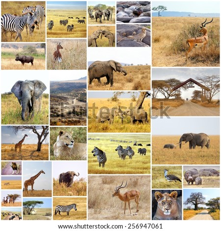 collection images taken from different animals on safari in Africa  - stock photo