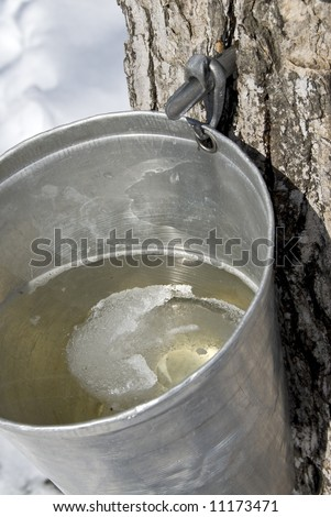 Collection Maple Tree Sap for Making Maple Syrup - stock photo