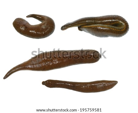 collection medical leech isolated on white background - stock photo