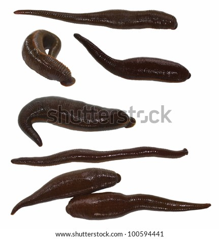 collection medical leech isolated on white background ( studio, macro ) - stock photo