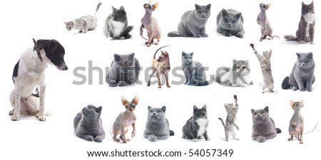 Collection of a cats isolated over white background (five breeds) + 1 bonus dog. - stock photo
